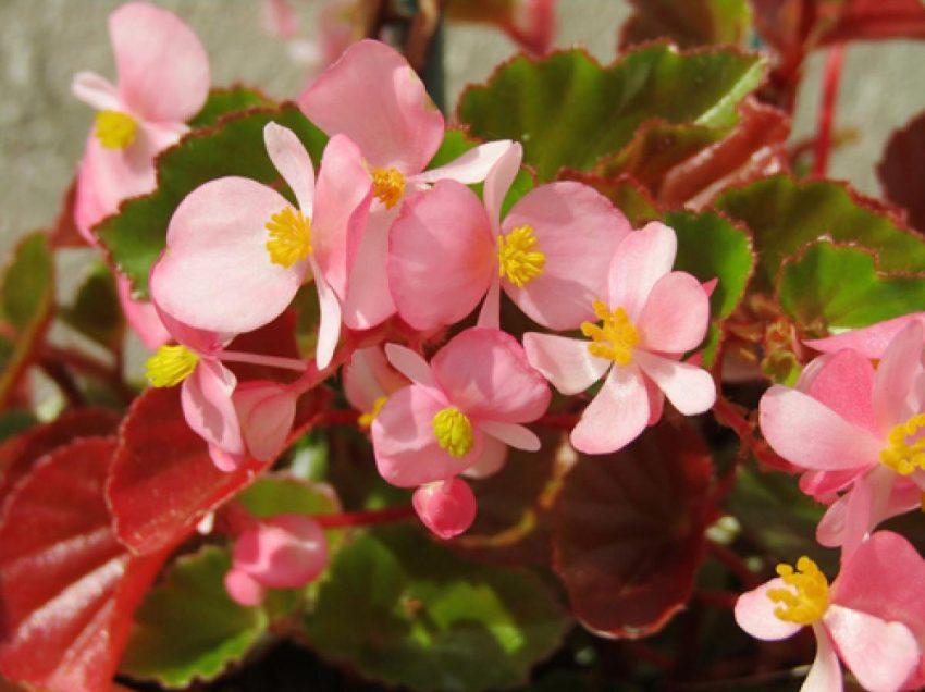 რომელი ყვავილები მოიზიდავს ფულს, სიყვარულს და ბედნიერებას