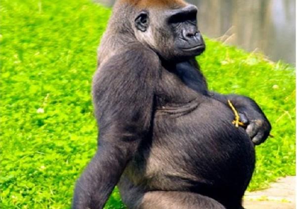 როგორ გამოიყურებიან ორსული ცხოველები (+ბევრი ფოტო)