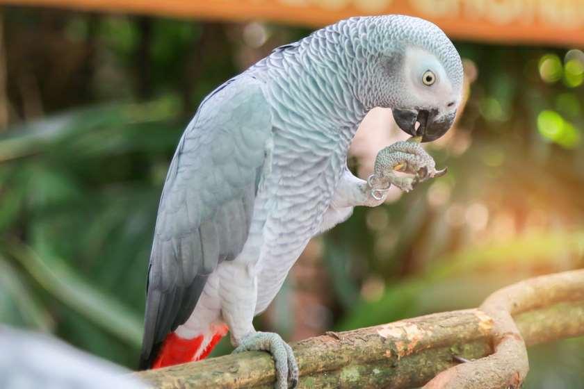 მეცნიერები: აფრიკული თუთიყუში ჟაკო ალტრუისტი აღმოჩნდა. ვიდეო