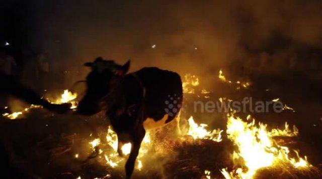"""""""ძროხებს ცეცხლში გარბენისთვის ამზადებენ"""" – უცნაური რიტუალ ინდოეთში (ვიდეო)"""