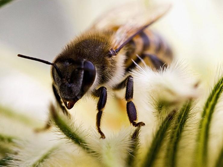 ფუტკრის შხამი მკერდის აგრესიულ სიმსივნეს ამარცხებს – ავსტრალიელი მეცნიერები