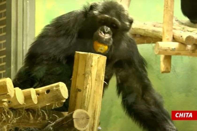 ბელგიაში ქალი შიმპანზესთან რომანის გამო ზოოპარკიდან გააძევეს